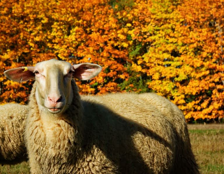A stately looking sheep stares straight ahead while standing in a field of grass. There are trees with fall colors behind the sheep.